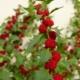 Rode Aardbei-Spinazie - Chenopodium foliosum - Tuinkruiden