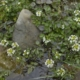 Echte Waterkers - Rorippa nasturtium - Tuinkruiden