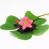 Geluksklaver bloemetjes