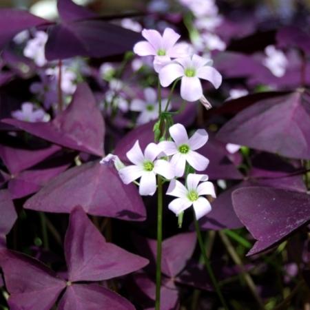 Rode Limoenklaver - Oxalis purpurea - Tuinkruiden