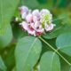 Apios Indianen-aardappel - Apios americana tuberosa - Eetbare Bloemetjes