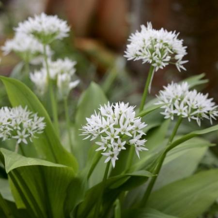 Daslook - Allium ursinum - Eetbare bloemetjes