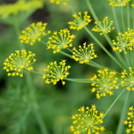 Dille bloemetjes - Anethum graveolens - Eetbare bloemetjes