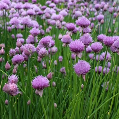 Gewone Bieslook - Allium schoenoprasum - Eetbare bloemetjes