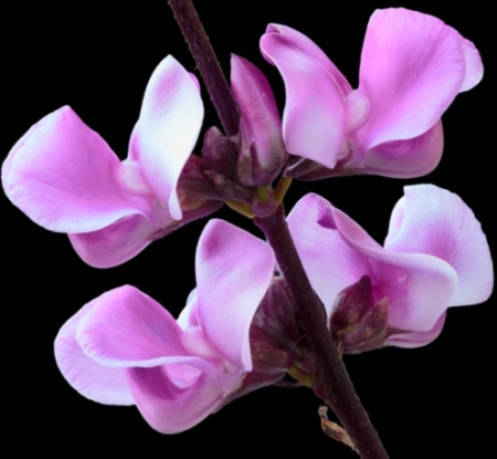 Hyacintboon - Dolichos lablab - Eetbare bloemetjes