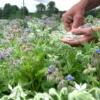 Borage bloemen - Komkommerkruid - eetbare bloemen