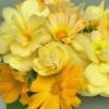 Begonia mix - Geel - Eetbare bloemen
