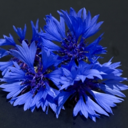 Korenbloemen Mix - Centaurea cyanus - Eetbare Bloemetjes