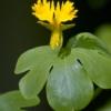 Oost-Indische Kanariekers - Tropaeolum peregrinum