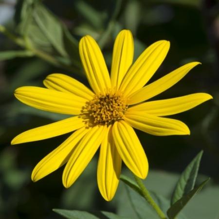 Topinambour Aardpeer - Helianthus tuberosus - Eetbare bloemetjes