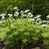 Lieve-vrouwe-bedstro - Galium odoratum