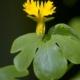 Oost-Indische Kanariekers - Tropaeolum peregrinum - Eetbare bloemetjes