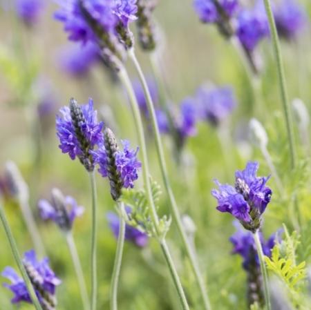 Oregano-lavendel / Varenblad-lavendel - Lavandula multifada - Eetbare Bloemetjes