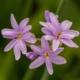 Zuid-Afrikaans Look - Tulbaghia violacea - Eetbare bloemetjes
