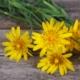 Gele Morgenster - Scorzonera hispanica - Eetbare bloemetjes