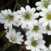Viltige Hoornbloem - Snow in Summer