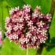 Milkweed - Asclepias syriaca - Eetbare bloemetjes