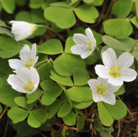 Wilde- of Witte Klaverzuring - Oxalis acetosella - Eetbare bloemetjes