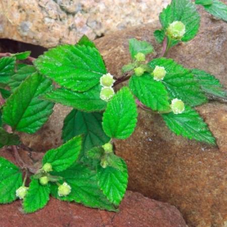 Honingverbena / Dushi Buttons - Lippia dulcis - Eetbare Bloemetjes
