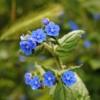 Ossentong - Pentaglottis sempervirens - Eetbare bloemetjes