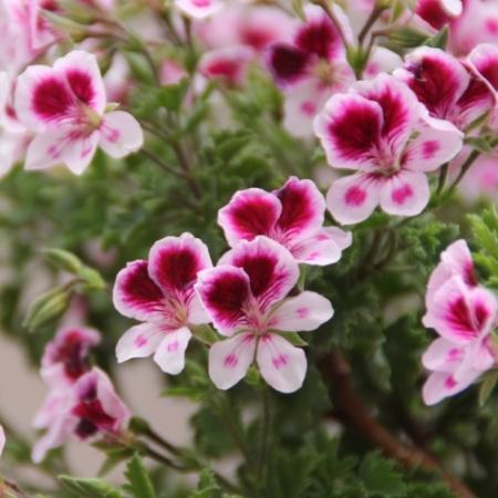 Franse Geraniums - Pelargonium grandiflorum - Eetbare Bloemetjes