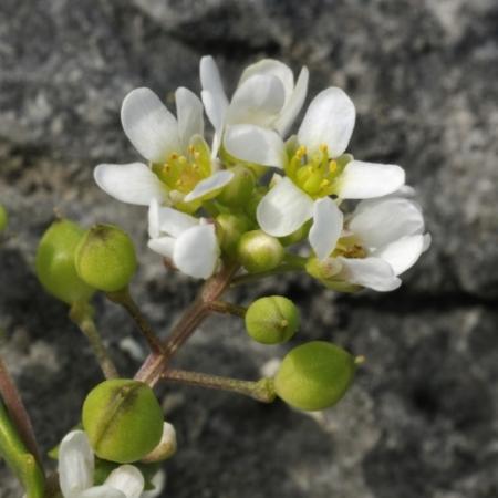 Echt Lepelblad – Cochlearia officinalis - Eetbare Bloemetjes