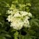 Moeras-spirea - Filipendula ulmaria - Eetbare bloemetjes