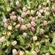 Sechuan buttons / Sansho buttons – Spilanthes oleracea / Acmella oleracea - Eetbare Bloemetjes