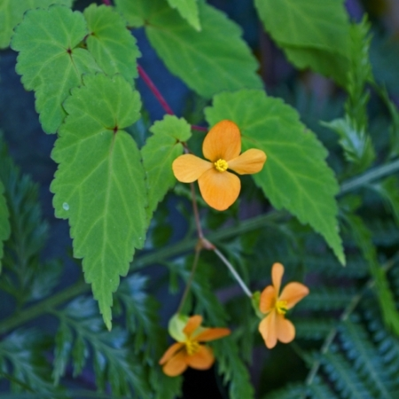 Begonia Afrikaanse Knol-begonia – Begonia suterlandii - Eetbare Bloemetjes