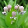 Blaas-silene - 'Bladder Campion' Silene latifolia
