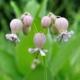 Blaas-silene - 'Bladder Campion' - Silene latifolia - Eetbare bloemetjes