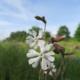 Hemelroosje - Silene latifolia - Eetbare bloemetjes