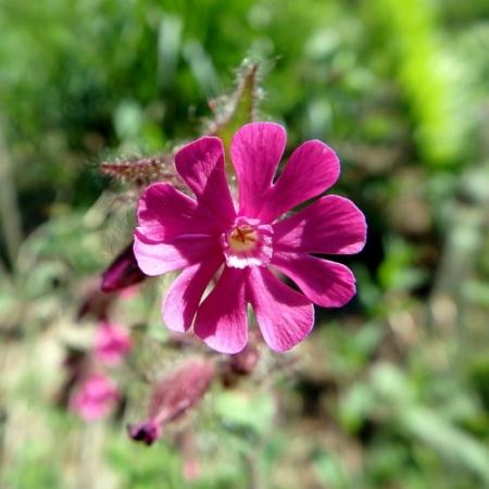 Rode Silene - Silene dioica - Eetbare Bloemetjes