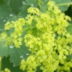 Vrouwenmantel - Alchemilla mollis - Eetbare bloemetjes
