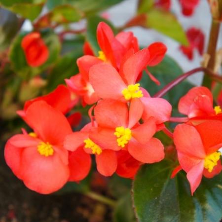 Begonia Wax Begonia – Begonia semperflorens - Eetbare Bloemetjes