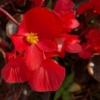 Begonia Wax Begonia rood - Eetbare Bloemetjes
