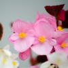 Begonia Wax Begonia roze - Eetbare Bloemetjes