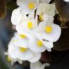Begonia Wax Begonia wit - Eetbare Bloemetjes