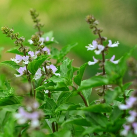 Basilicum bloemetjes - Ocimum basilicum - Eetbare Bloemetjes