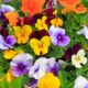 Viooltjes / Pansy Flowers 'Rocky'-collectie - Viola cornuta 'Rocky'-collectie - Eetbare bloemetjes