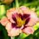 Daglelie - Hemerocallis - Eetbare Bloemetjes