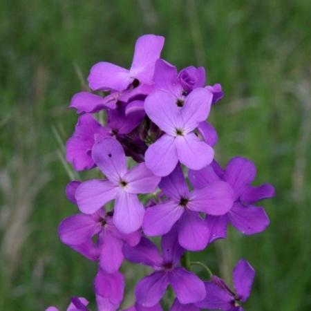 Damastbloem - Hesperis matronalis - Eetbare Bloemetjes