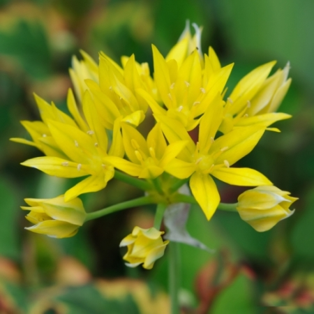 Goudlook - Allium 'Moly' - Eetbare bloemetjes