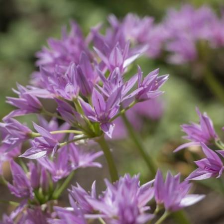 Californisch Look - Allium unifolium - Eetbare bloemetjes