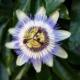 Passiebloem - Passiflora - Eetbare bloemetjes