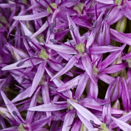 Sterrenlook 'Metallic' - Allium Christophy - Eetbare bloemetjes
