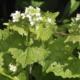 Look-zonder-look / Knoflook-Mosterd - Alliaria petiolata officinalis - Eetbare Bloemetjes