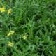Wilde Rucola - Diplotaxis tenuifolia - Eetbare bloemetjes