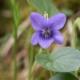 Rivinus-viooltje - Viola riviniana - Eetbare bloemetjes
