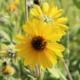 Zonnewortel - Helianthus strumosum - Eetbare bloemetjes
